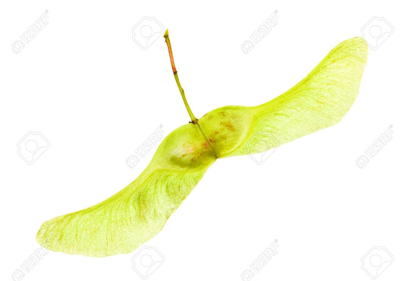 isolated on a white background Maple seed