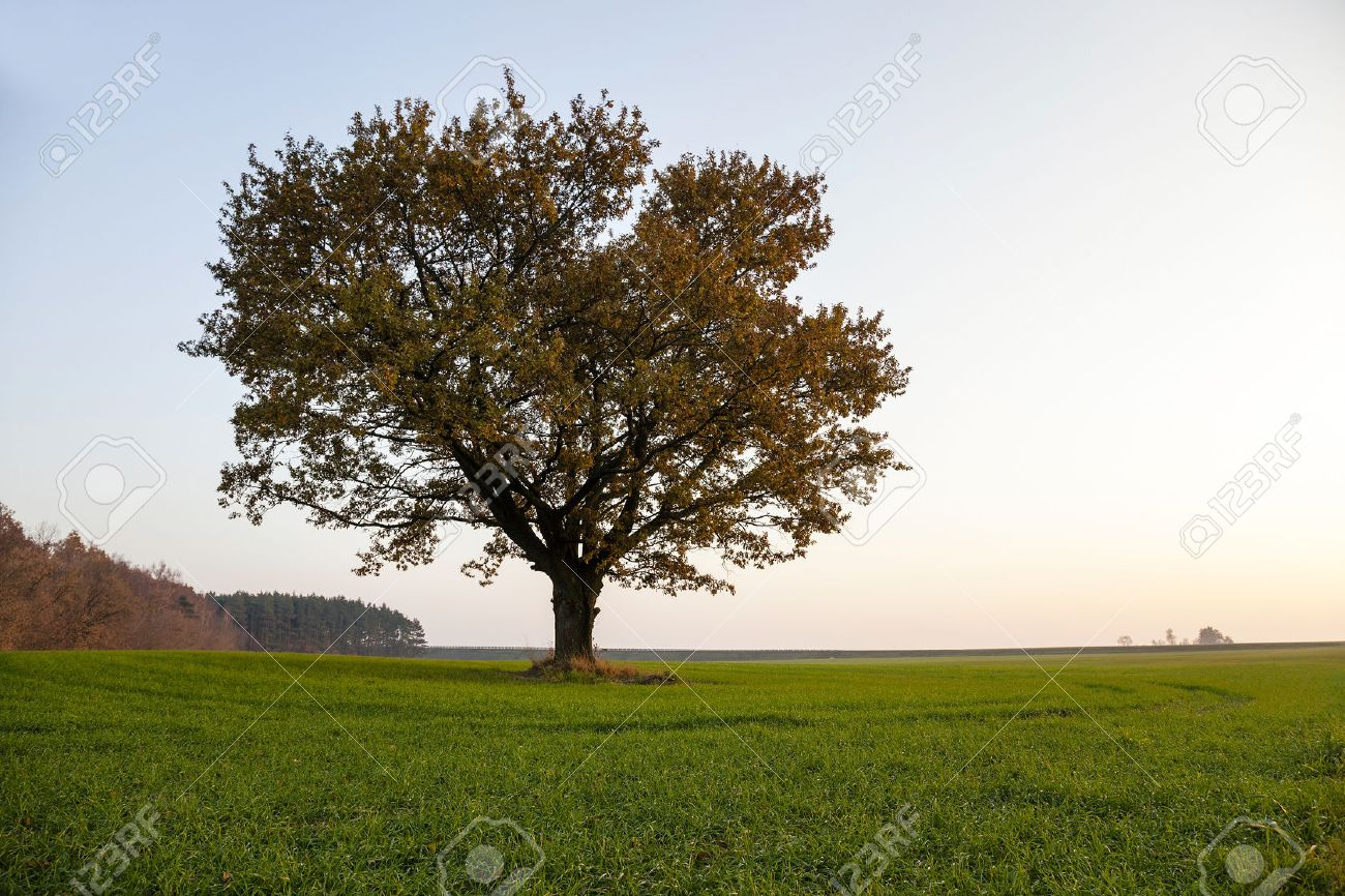 photographed close-up of an oak tree in autumn season - 46989435
