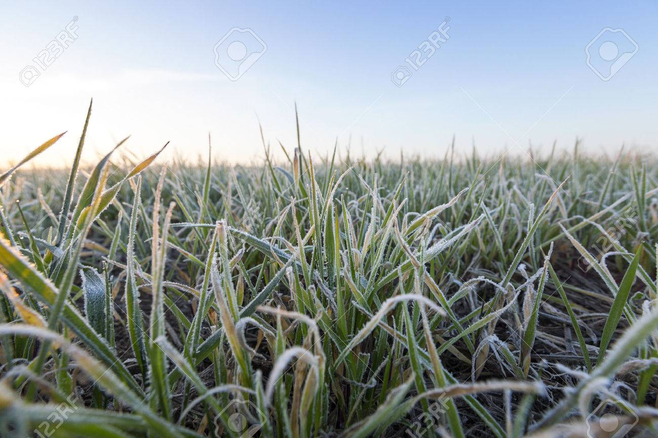 photographed close-up of green plant young wheat in the morning after a frost, defocused - 55851030