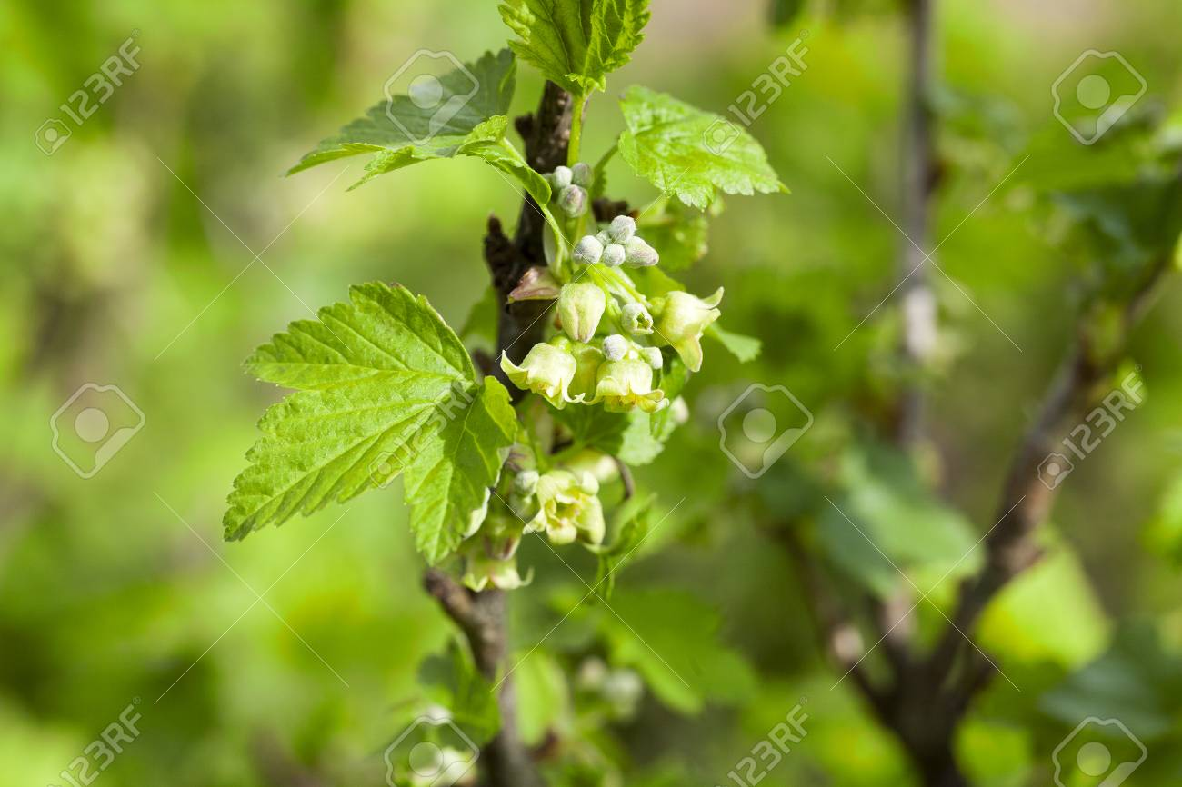 Photographed Close Up Currant Flowers In Spring Season Stock Photo