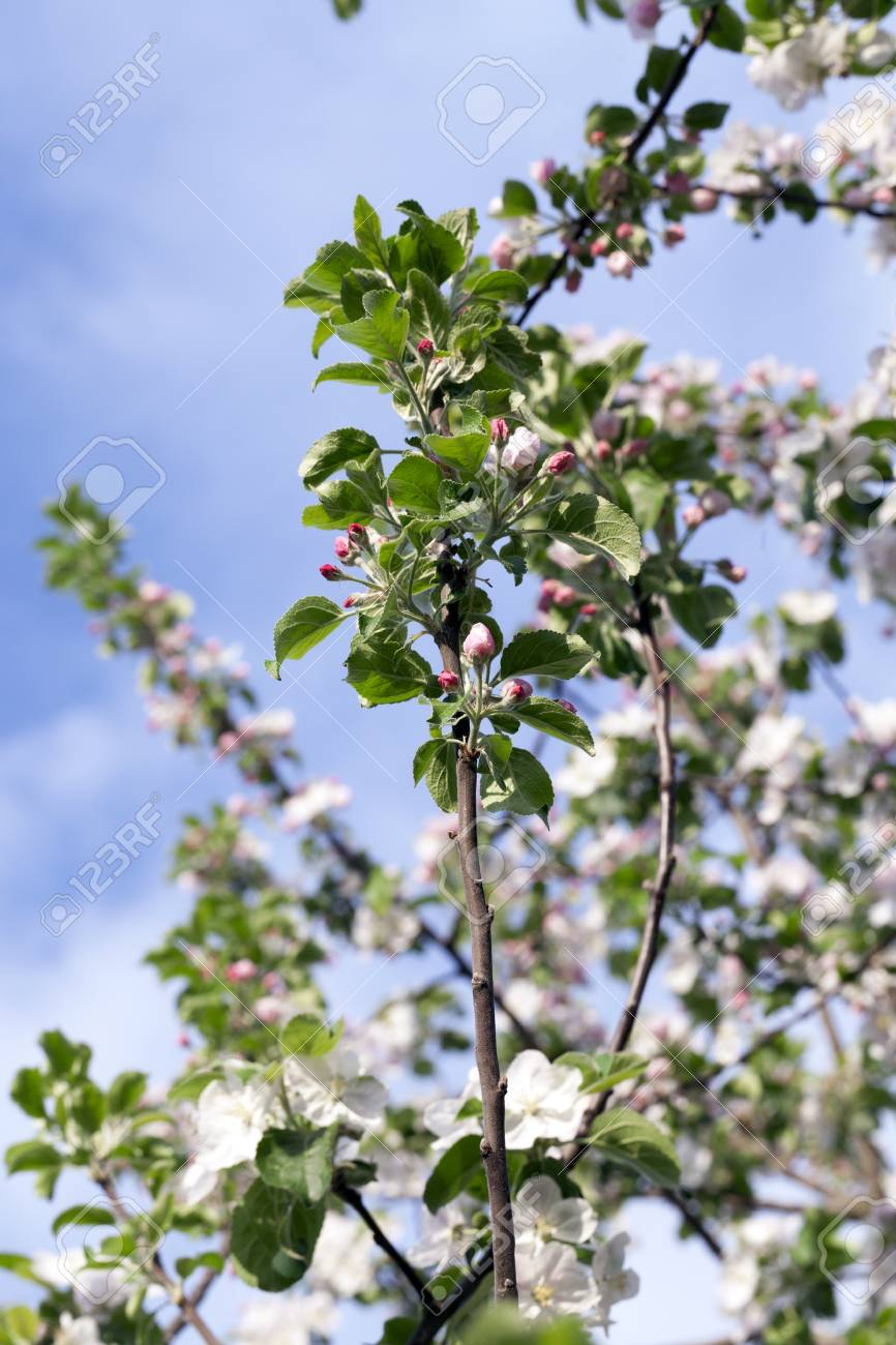 White Apple Flowers In May Stock Photo Picture And Royalty Free