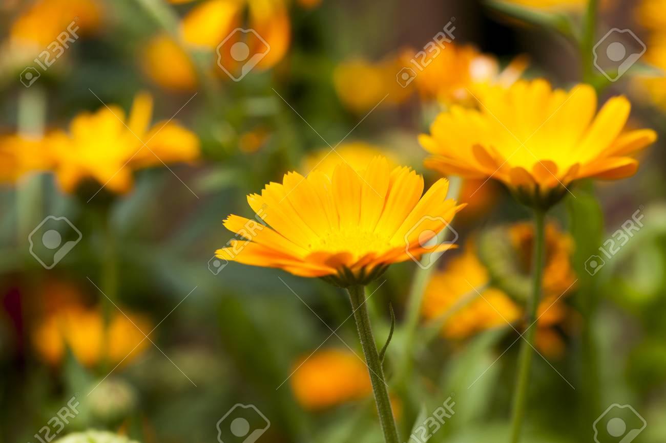 Flowers of marigold, field - 87844498