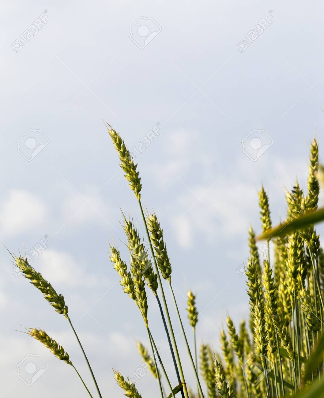 immature green wheat against a blue sky with clouds. photo close-up in spring or summer - 87834680
