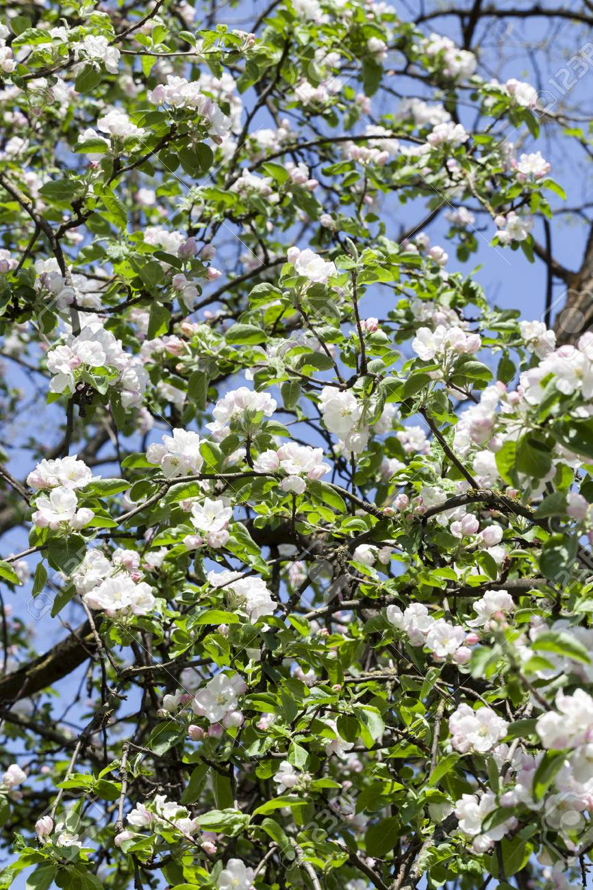 Long Branches With Green Leaves And White Flowers Of Fruit Trees In