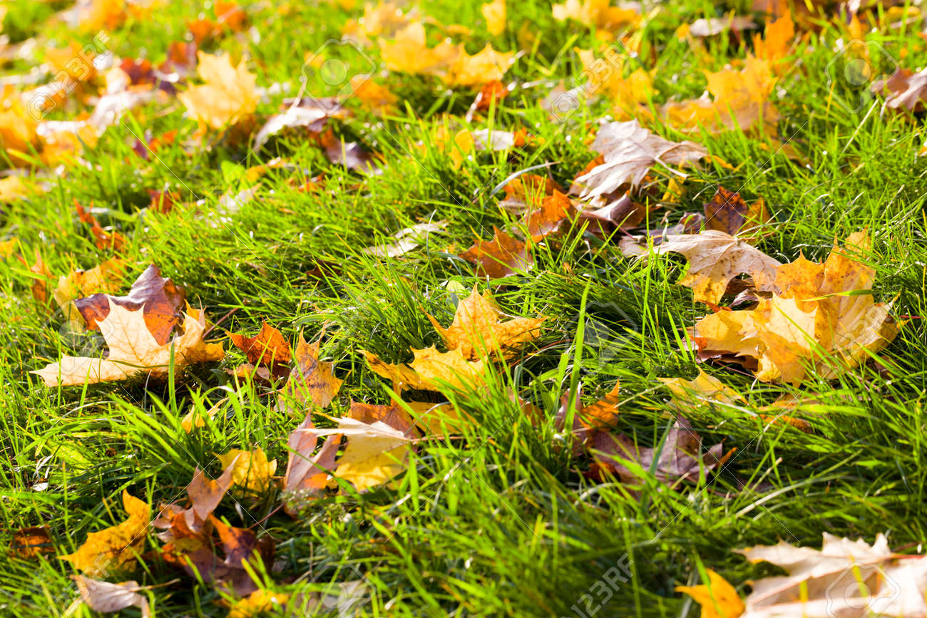 beautiful green grass on which the fall foliage of yellow and other colors fall, in the autumn season, selective focus - 172179679