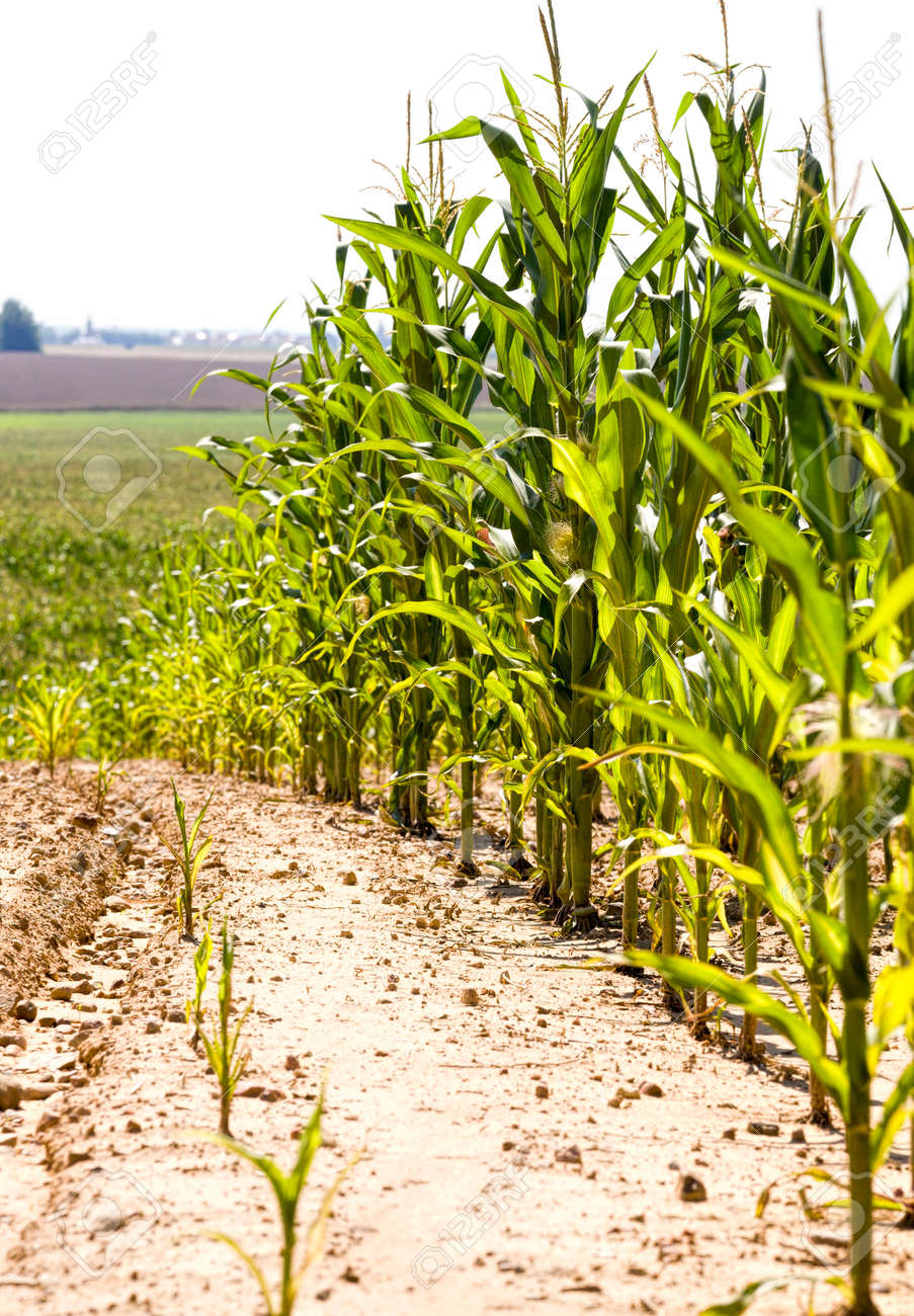 organic agriculture for growing sweet real corn, monoculture in the form of green plants, full field of maize plants - 172179688