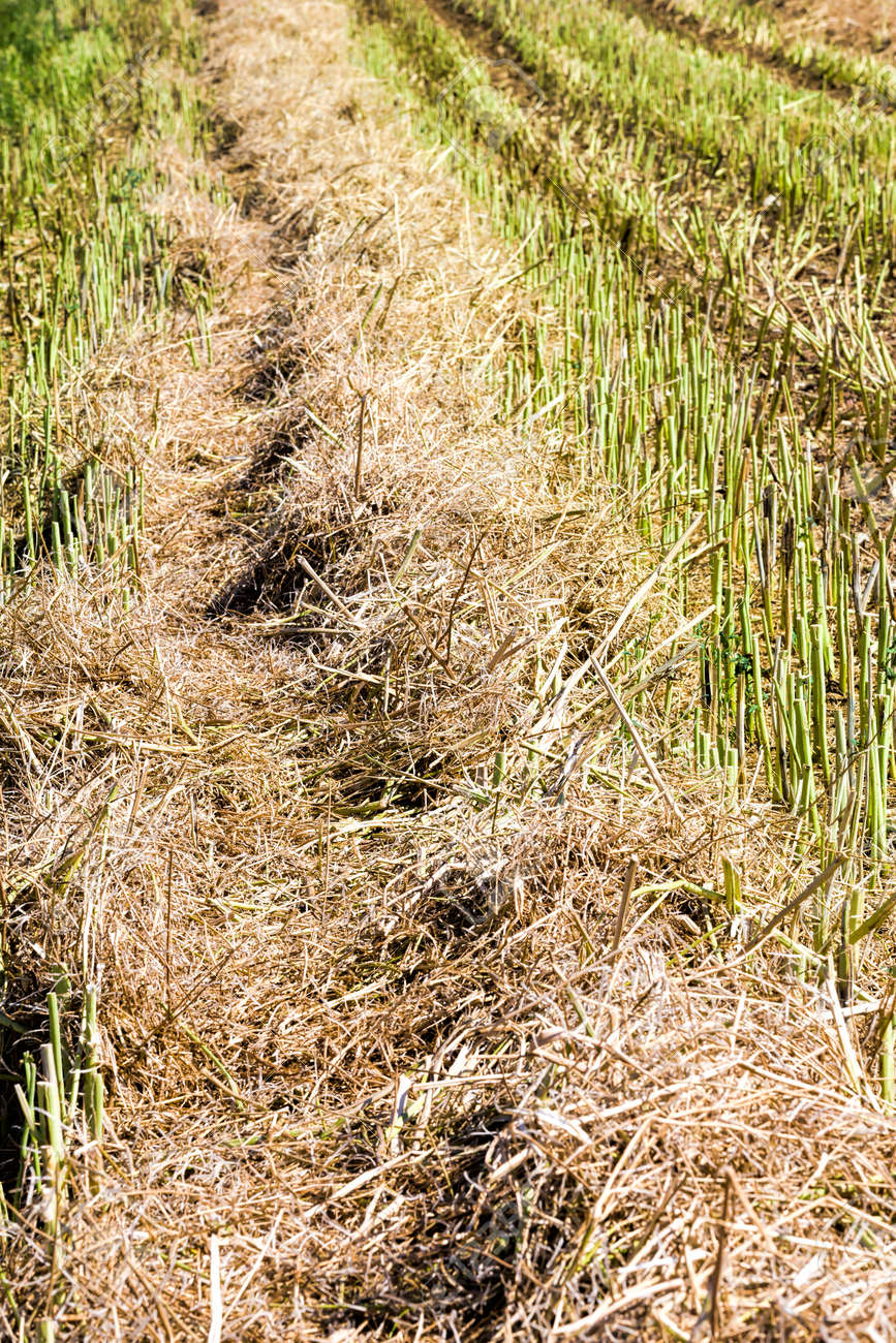 agricultural fields with fresh stubble after harvesting crops colza - 172179691