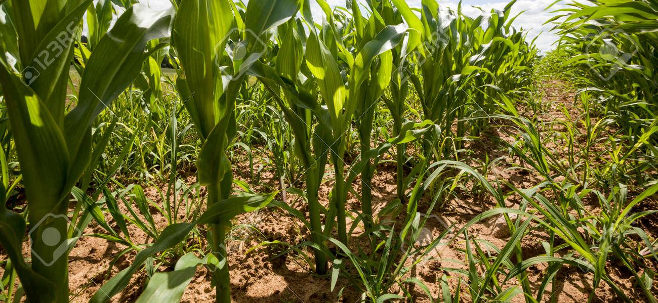 long rows of green sweet corn in summer season, organic farm and, organic farming - 172179697
