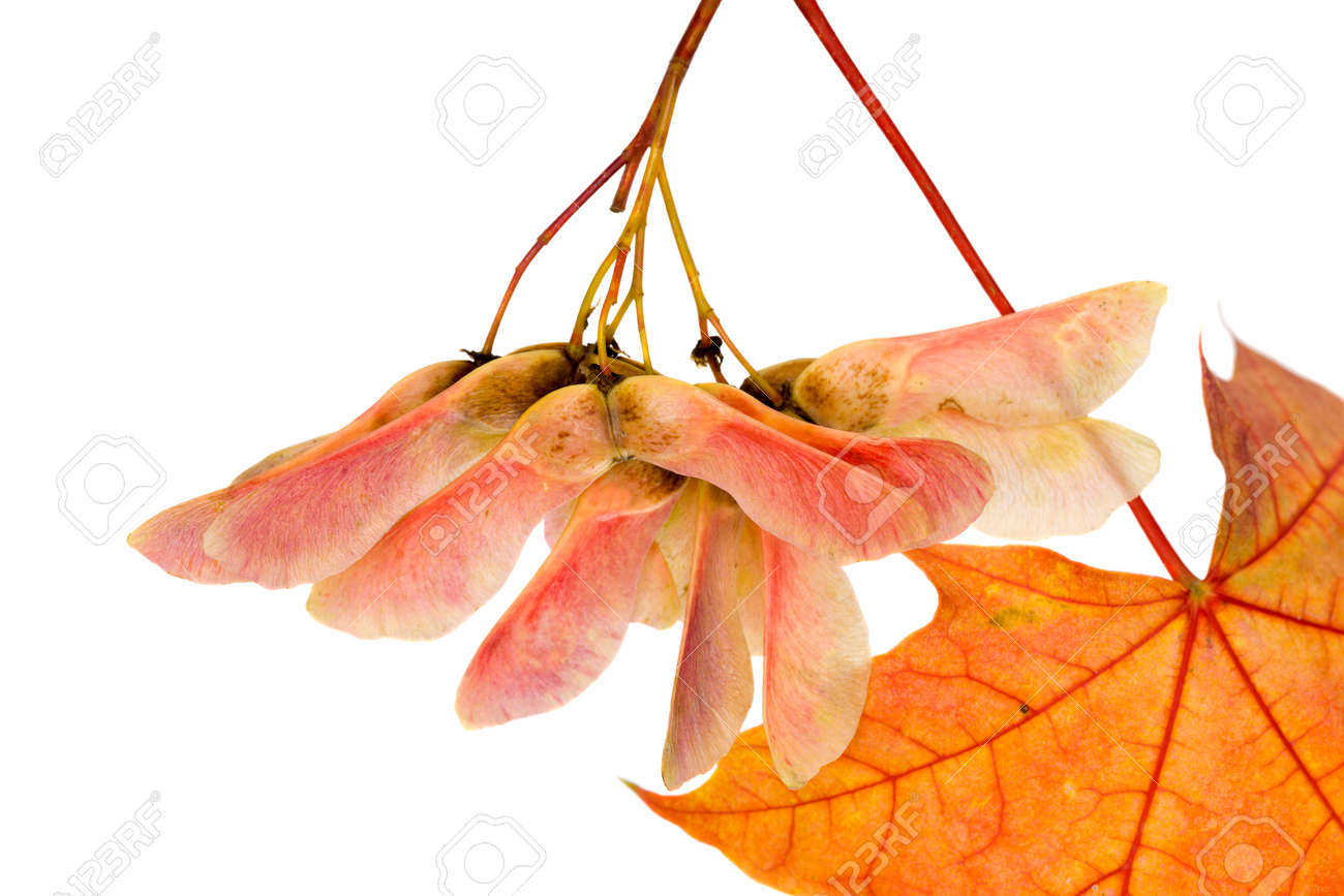 real natural maple leaves changing colors in the autumn season, close-up of reddening foliage isolated on a white background - 172179700