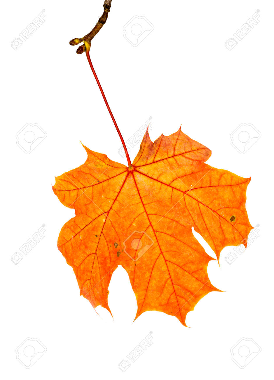 maple leaves changed color in the autumn season, close-up of foliage isolated on a white background - 172179701