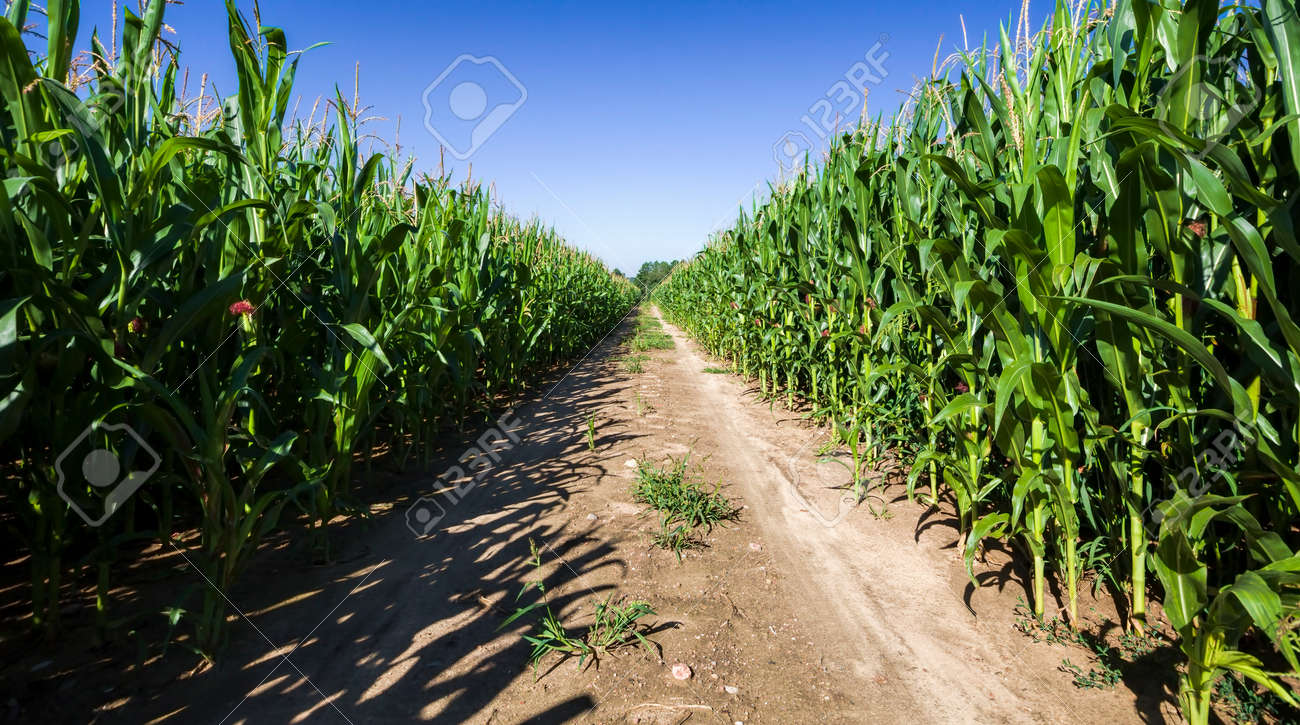 sandy country road through agricultural fields, summer landscape and summer nature, the road through the middle of the field, which is already growing high green sweet corn - 172179711