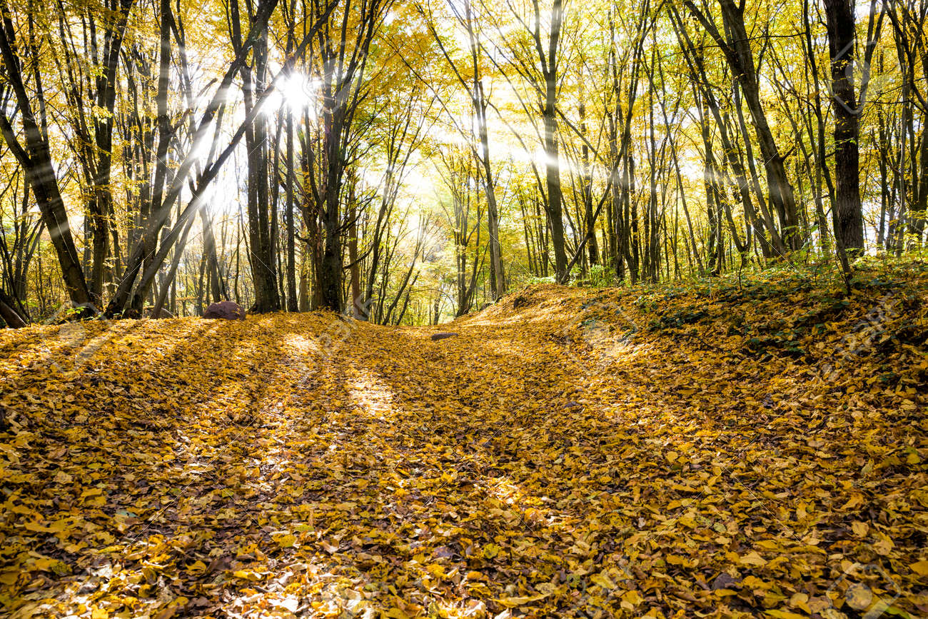 young forest with deciduous trees in the autumn illuminated by sunlight, a landscape of beautiful real nature during leaf fall - 172179712