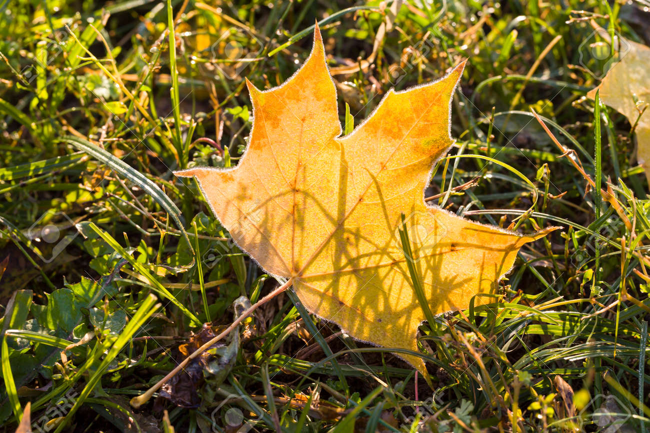 on the ground one dry yellowed foliage of maple trees in the autumn season, real wildlife during the seasons - 172179714