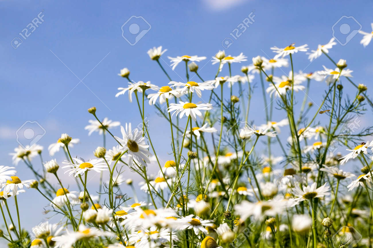 blooming medical daisies in the field in the spring time of the year, a real wildlife - 172179715
