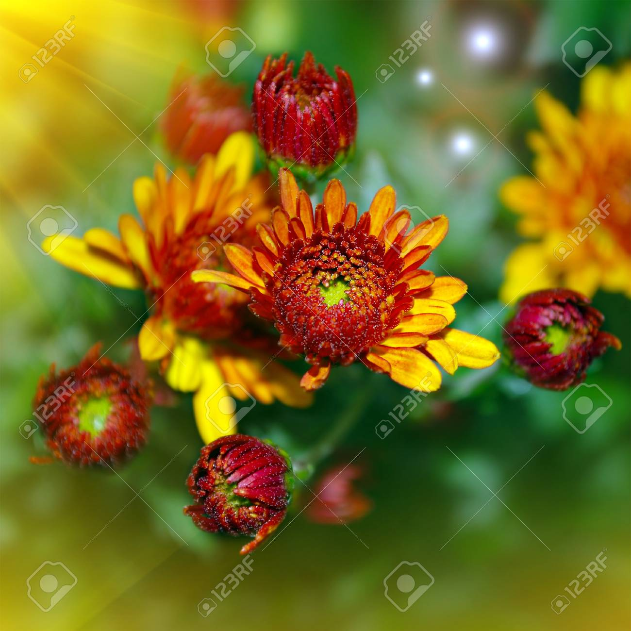 Bright Yellow And Red Flowers In Summer Season Stock Photo Picture