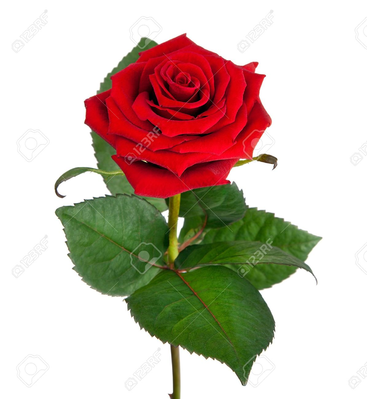 Single beautiful red rose isolated on white background stock photo single beautiful red rose isolated on white background stock photo 13432980 izmirmasajfo Choice Image