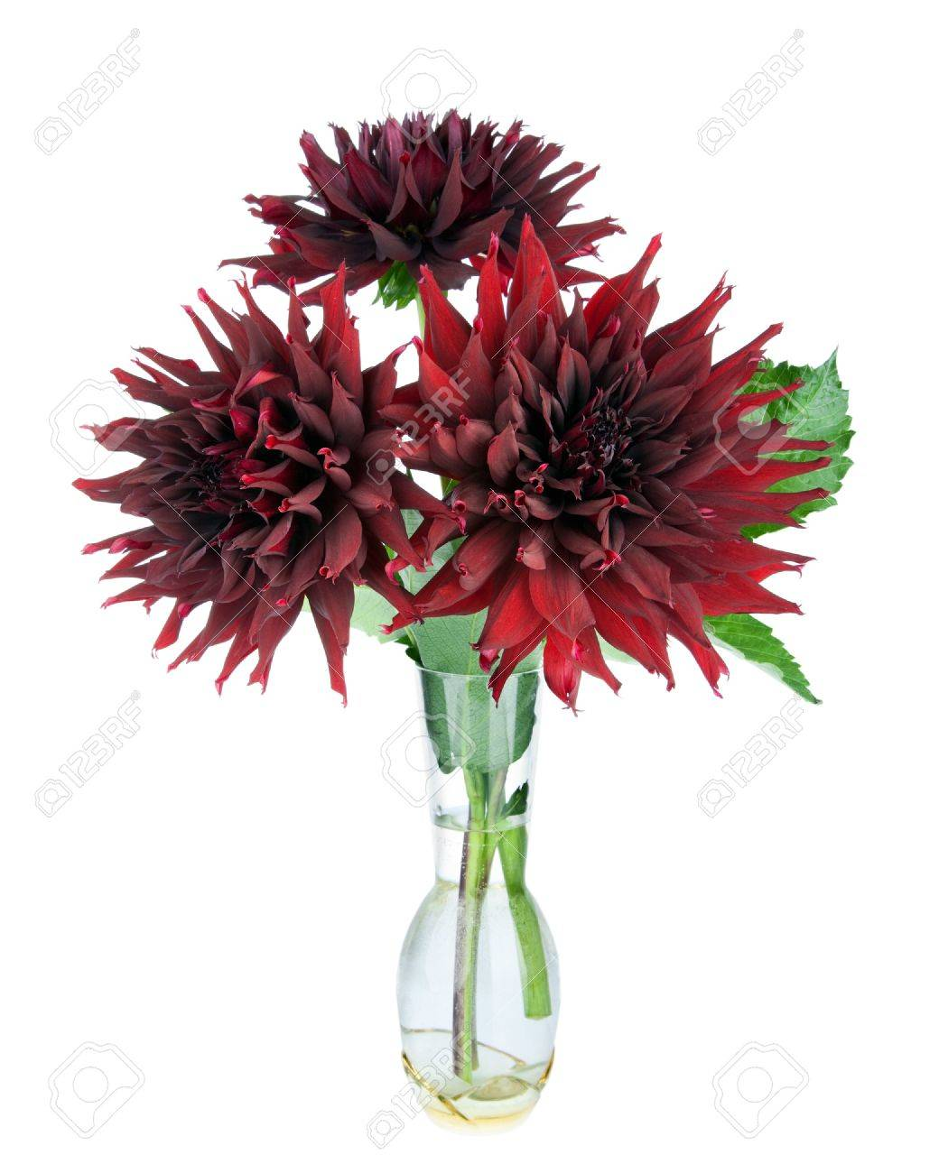 Beautiful Red Dahlias Flowers In Vase Isolated On White Stock Photo