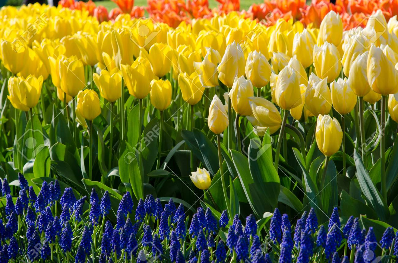 The Original Texture Of A Large Number Of Tulips In The Colors ...