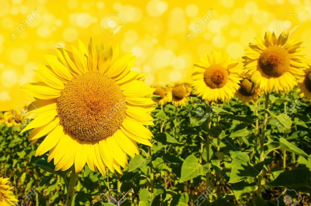 Paesaggio pieno di sole con girasoli su sfondo giallo e bokeh