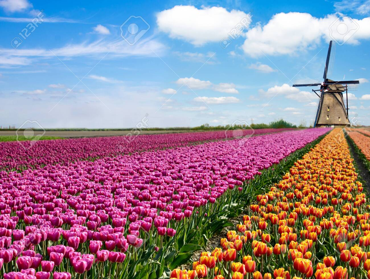Beautiful magical spring landscape with a tulip field and windmills in the background of a cloudy sky in Holland. Charming places. - 139247071