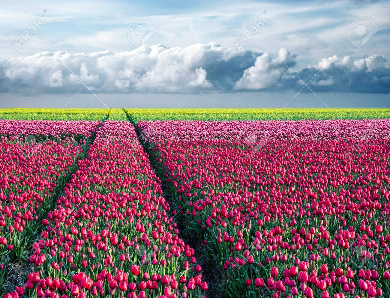 fabulous stunning magical spring landscape with a tulip field on the background of a cloudy sky and road to the horizon in Holland. Charming places. - 145441028