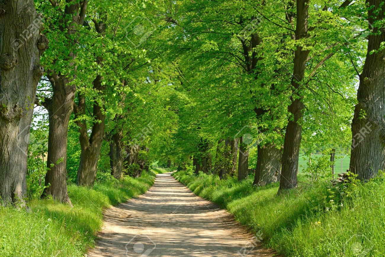 アベニュー並木はリンデンの木の...