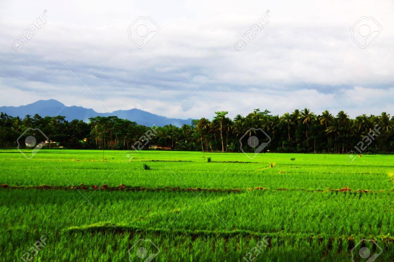 Verdant Rice Fields, Purwokerto Central Java Indonesia Stock Photo - 17197840