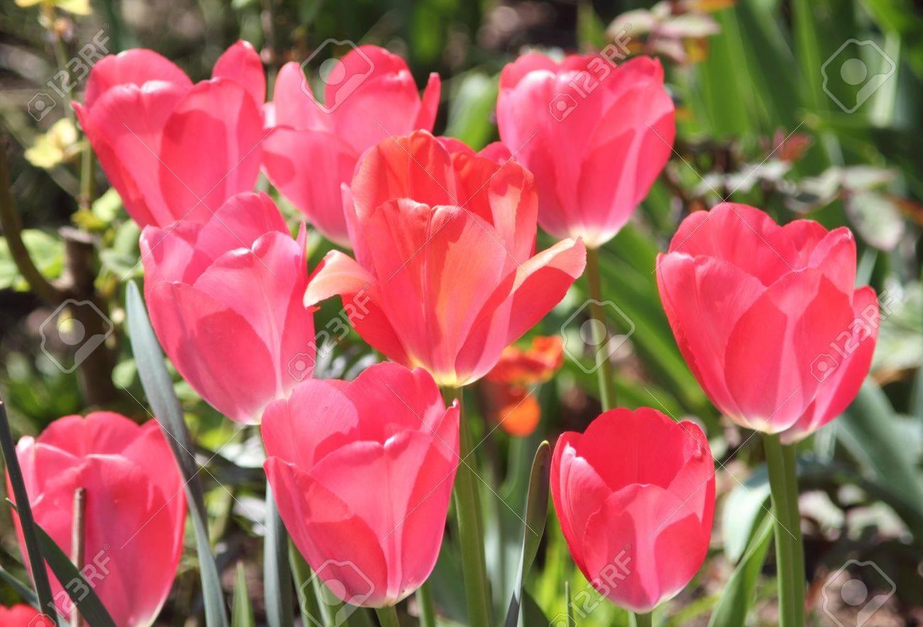 Red Tulips shining light flooded in sunlight Stock Photo - 13337951