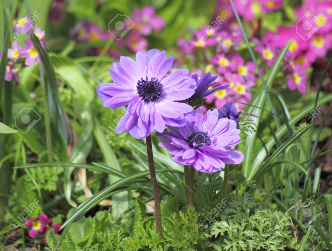 Delicate amethyst anemone in spring Stock Photo - 13339796