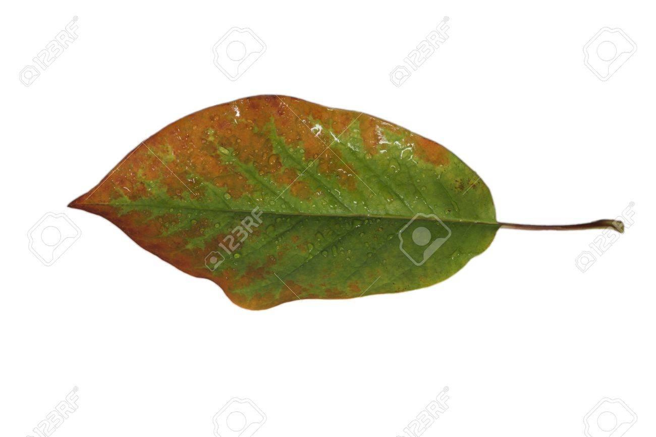 秋に緑褐色の細静脈と朴葉を解放...