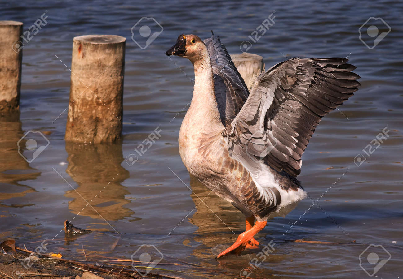 Swan Goose (Anser Anser) photographed at a nature reserve, Rimini, Italy. Stock Photo - 5344716