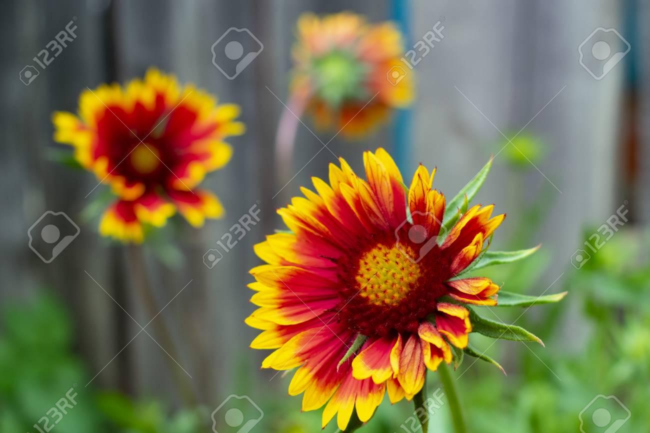 Gaillardia aristata colorful red yellow garden perennial flower gaillardia aristata colorful red yellow garden perennial flower close up stock mightylinksfo
