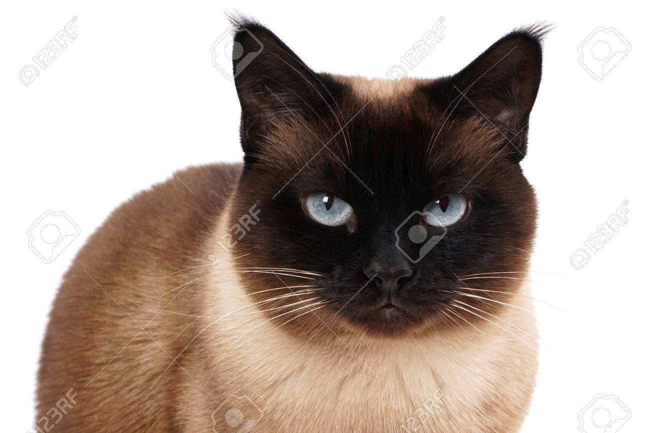 Portrait Of A Siamese Cat In Seal Point With Blue Eyes Stock Photo