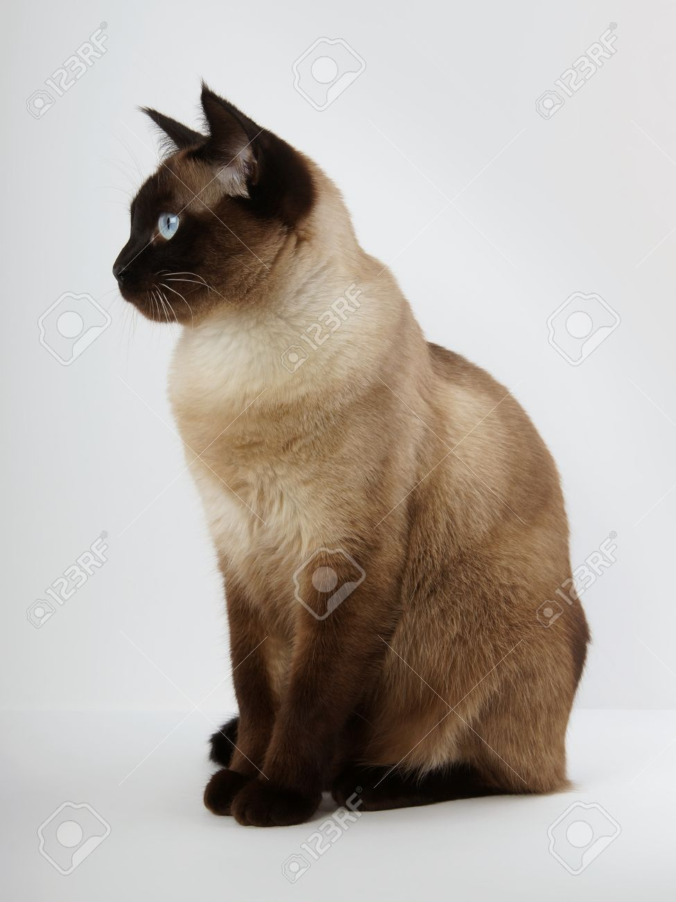 side view of a siamese cat in seal point with blue eyes stock photo