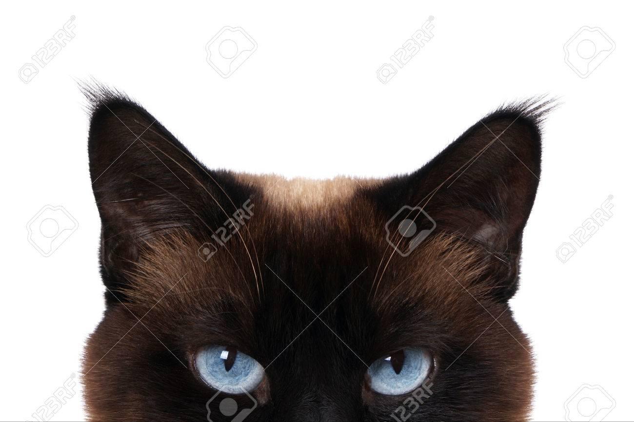 siamese cat with blue eyes peeking isolated on white - 40445708