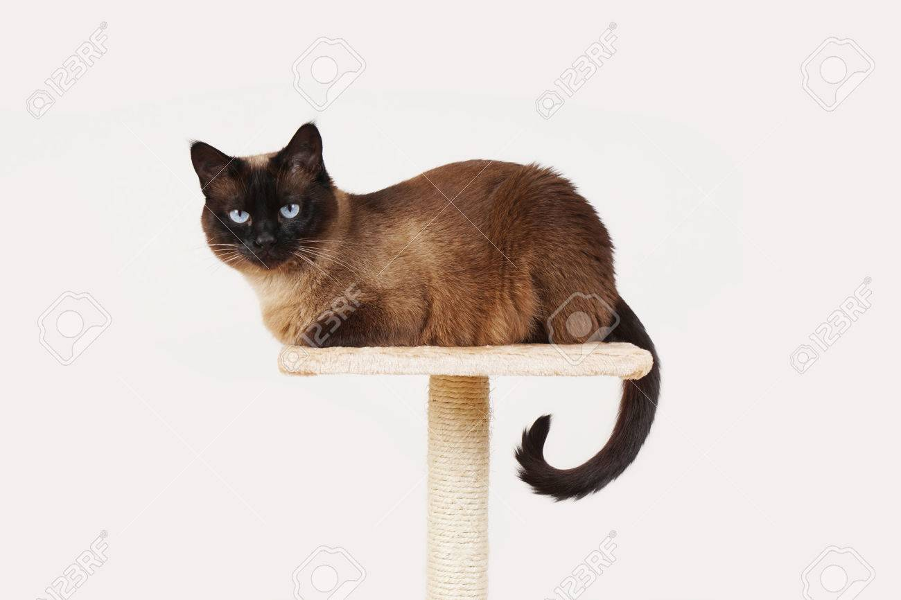 siamese cat resting on lookout platform on top of scratching post - 41477508