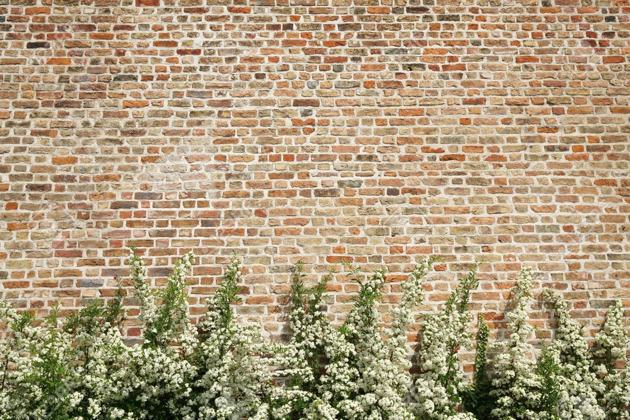Bush With White Flowers In Front Of Old Brick Wall As Background Stock Photo Picture And Royalty Free Image Image 59982451