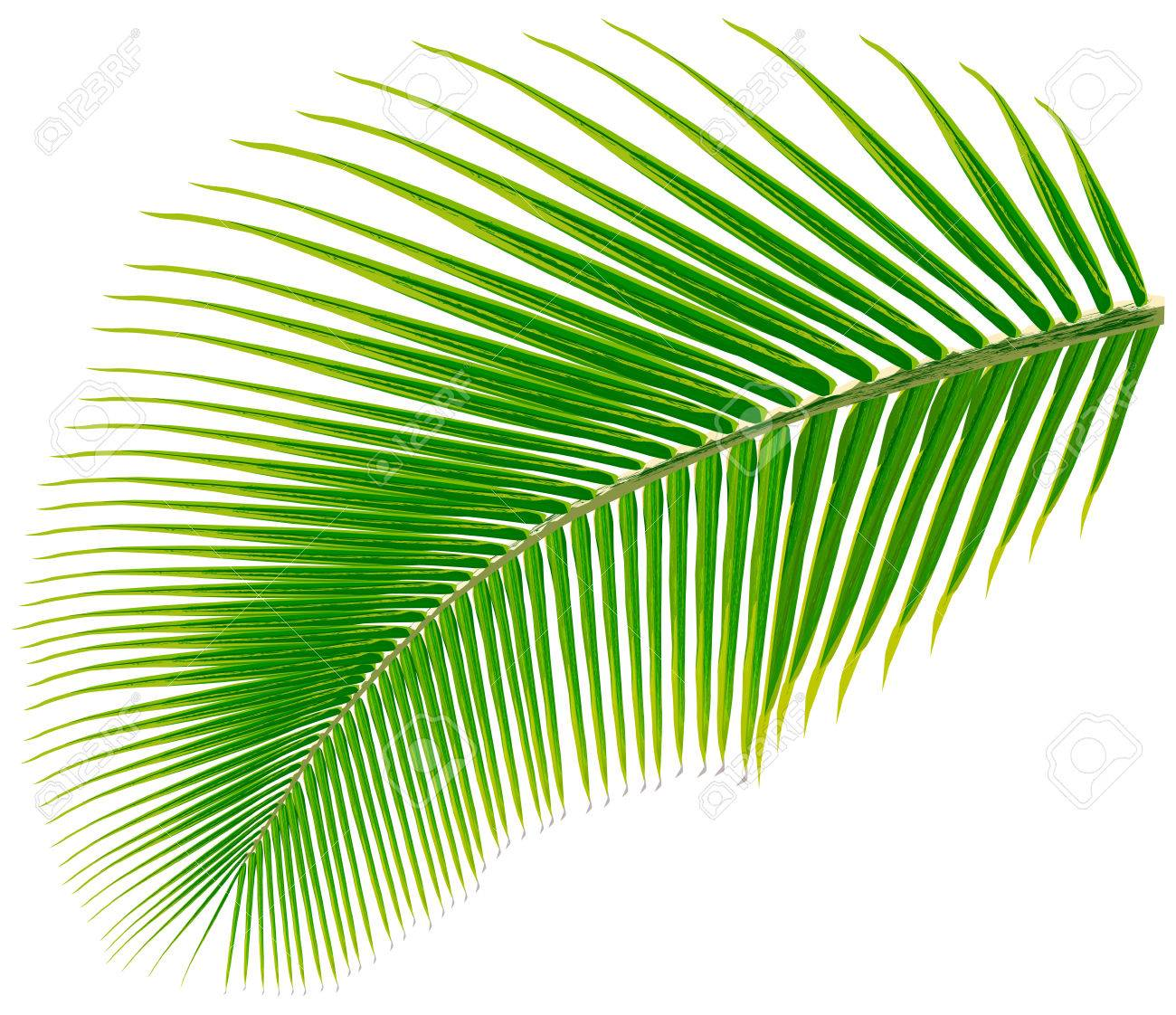 palm tree leaf vector illustration isolated on white royalty free rh 123rf com summer palm tree leaves vector palm tree leaves vector png