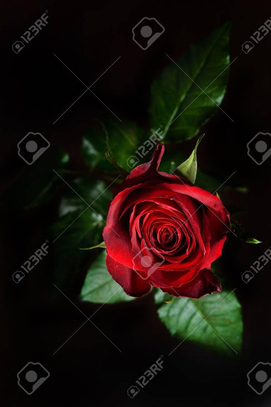 Wallpaper rosa roja fondo negro