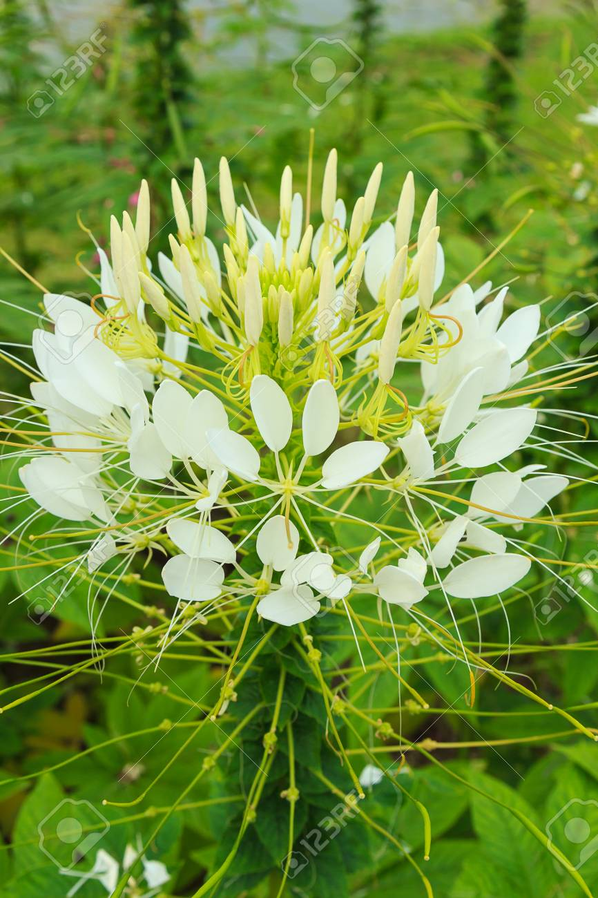 White Cleome Spider Flower Stock Photo Picture And Royalty Free