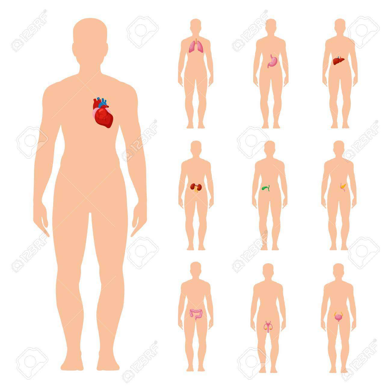Innere Organe Festgelegt. Organsystem Des Menschlichen Körpers ...