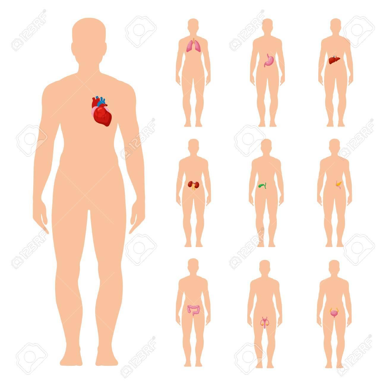 Internal Organs Set Human Body Organ System Medical Poster