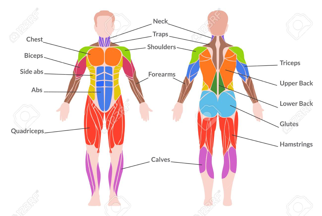Human Muscular System Medical Poster Of Man Organ System Consisting