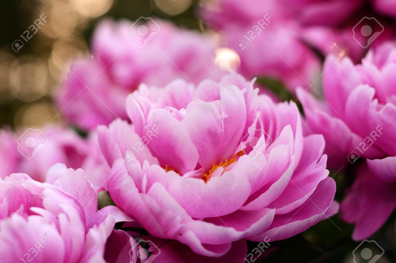 Pink Peony Flower Blurred Background Peonies Floral Wallpaper