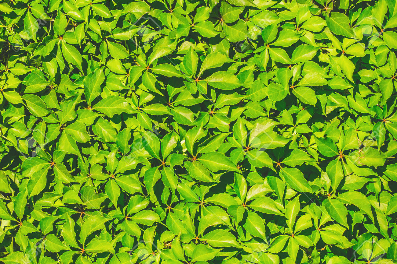 Green leaves for decoration of the facade and interior of the summer terrace texture background. - 166230491