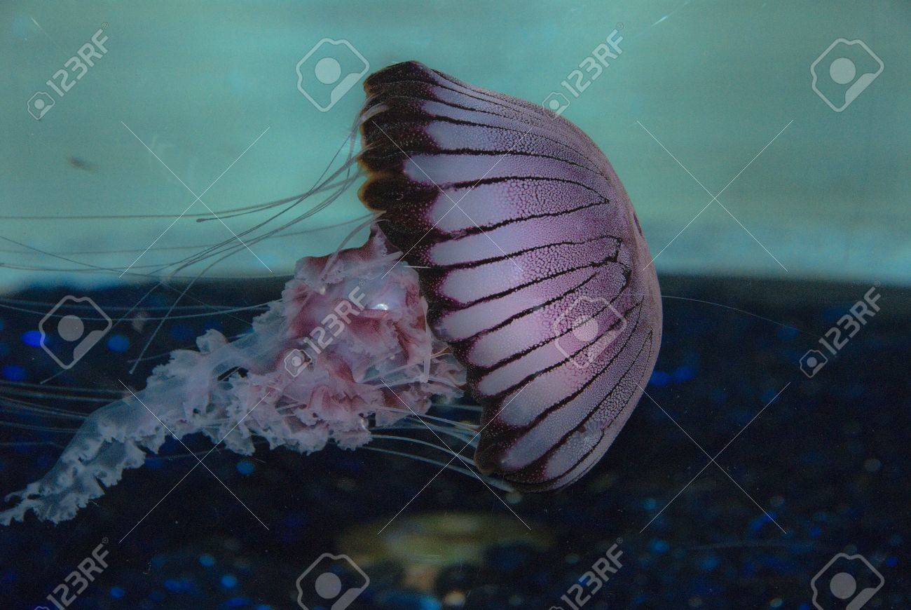 the side view of a jellyfish moving along cape town south africa