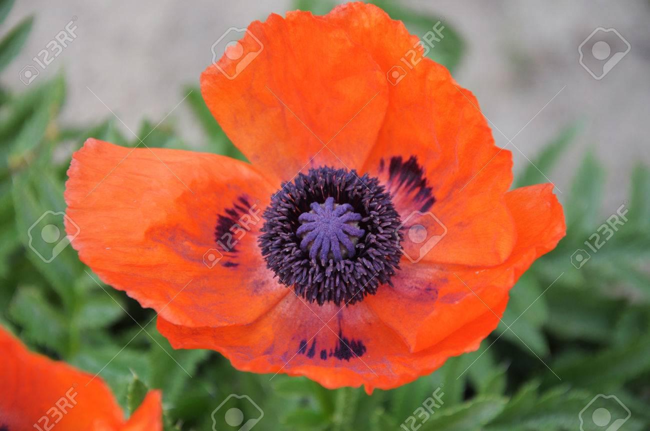 Oriental poppy is a perennial flowering plant native to the caucasus oriental poppy is a perennial flowering plant native to the caucasus northeastern turkey and mightylinksfo