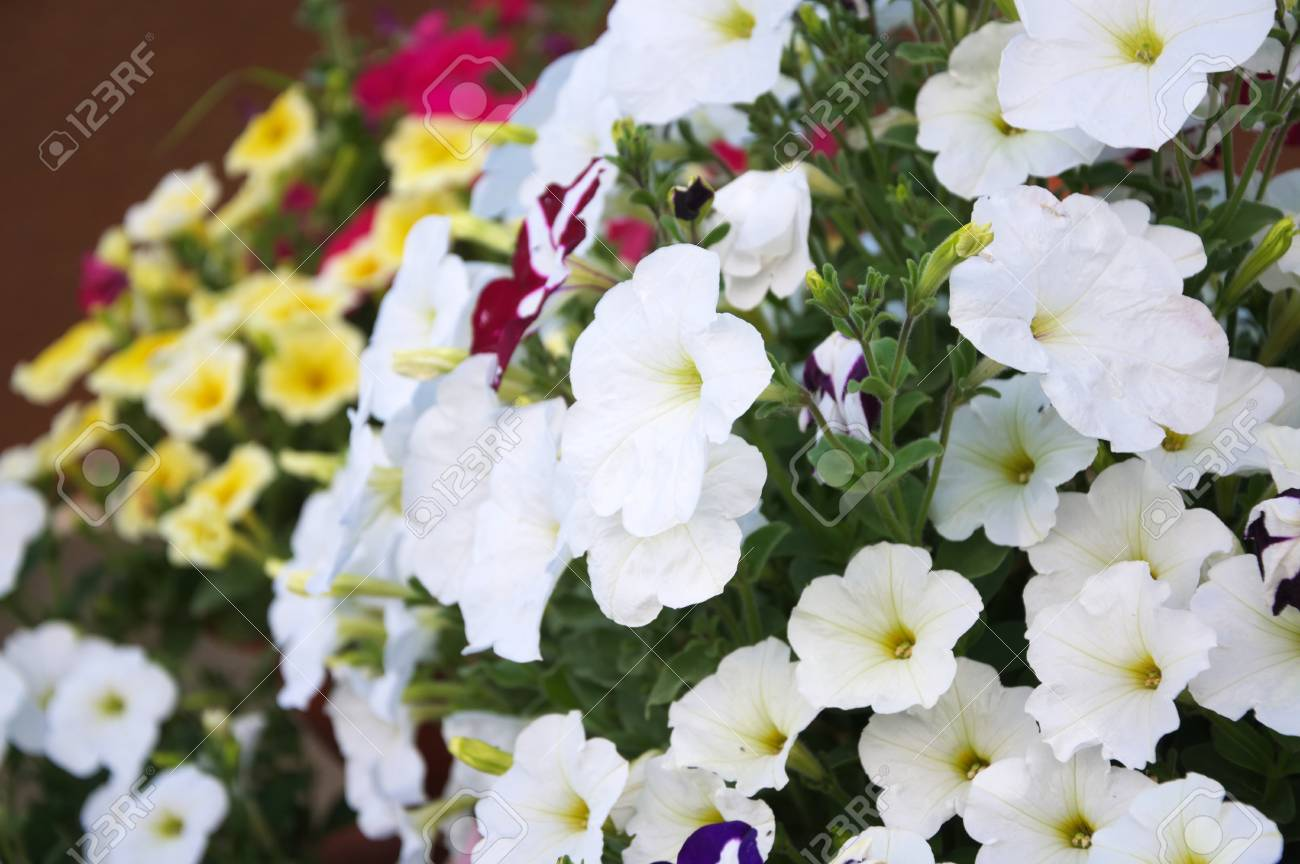 White Petunia Flower Plants In The Garden Stock Photo Picture And