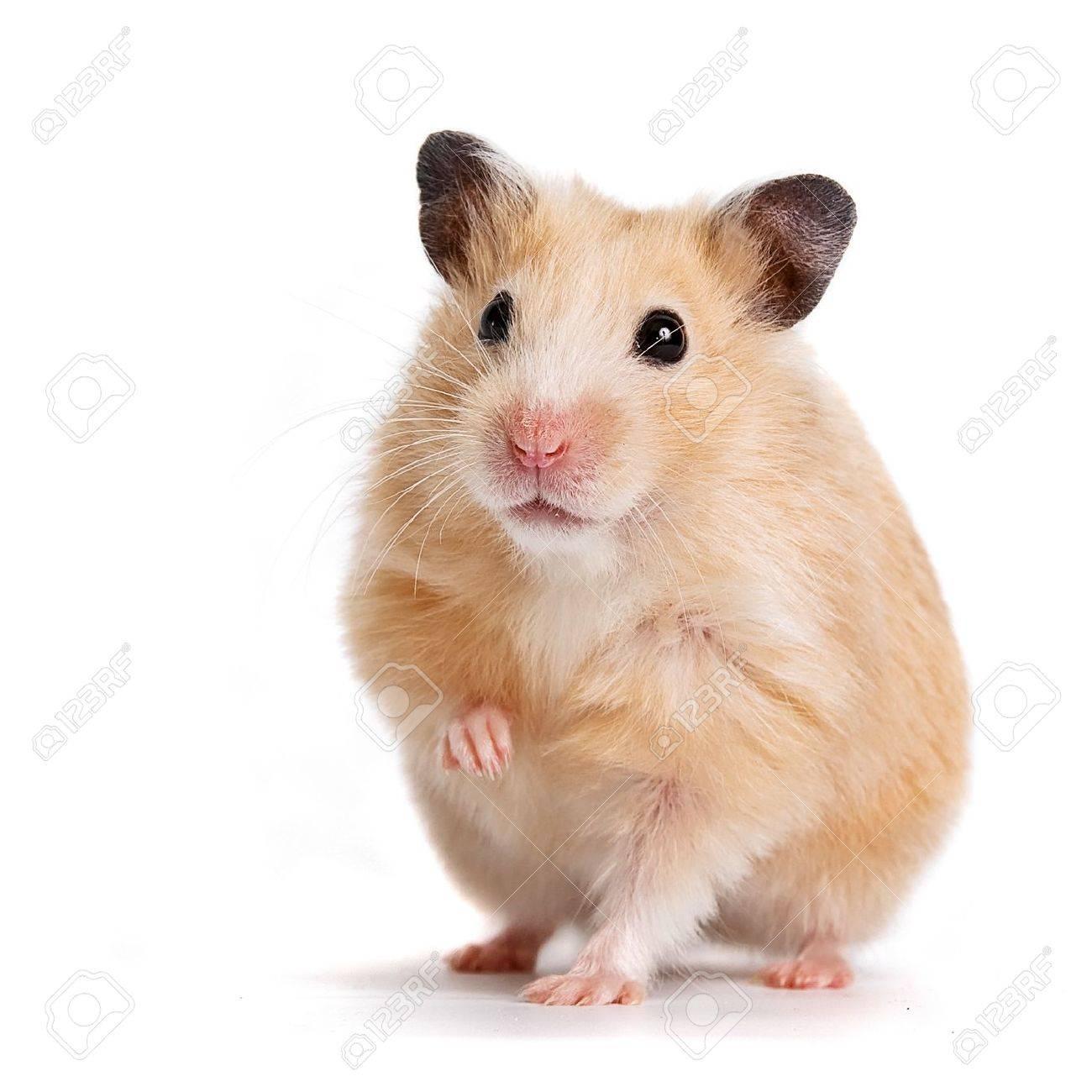 hamster Standard-Bild - 12092906