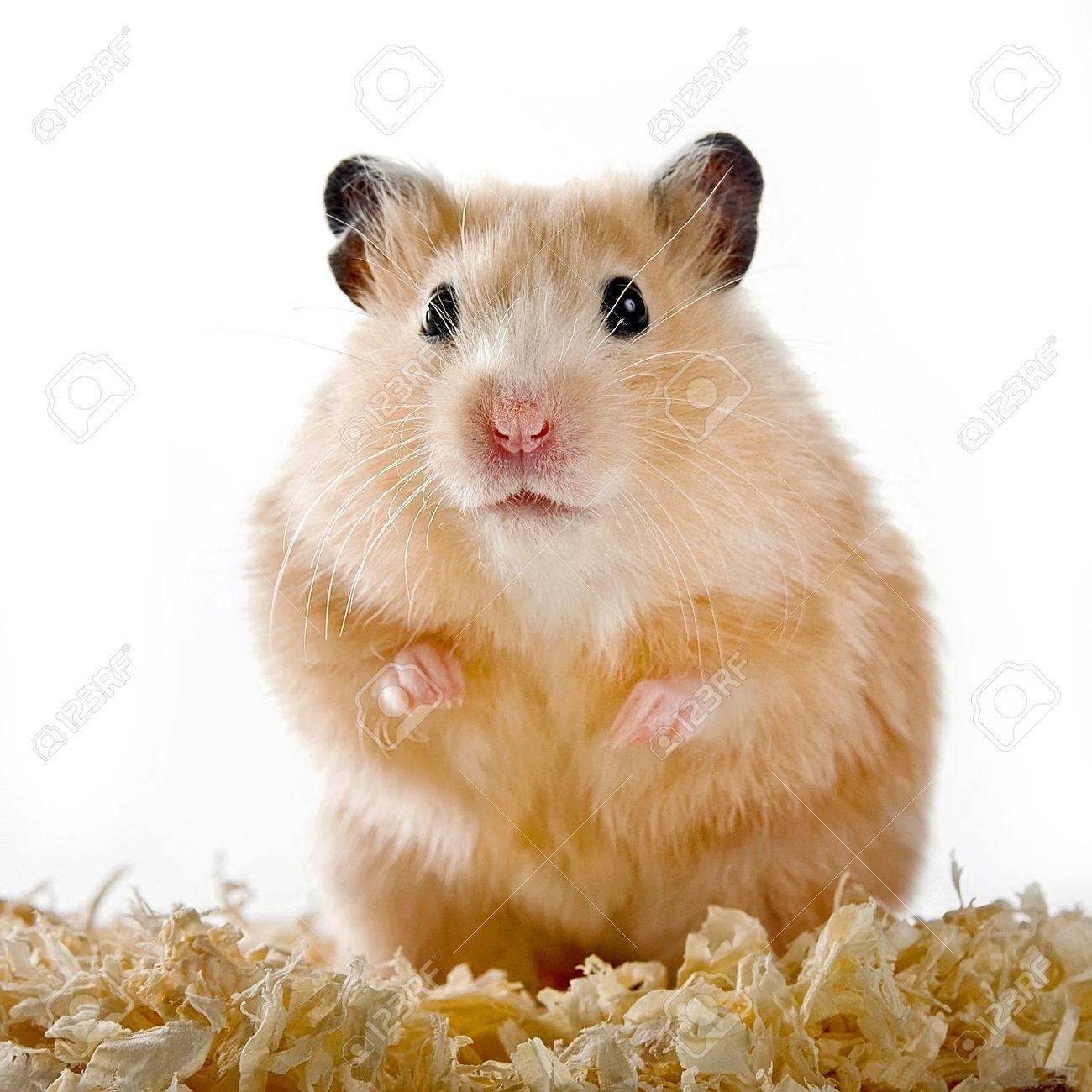 hamster Standard-Bild - 12092932